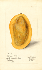 Mangoes, Totafari (1914)