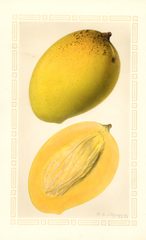 Mangoes, Totafarice (1926)