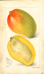 Mangoes, Totafari (1908)