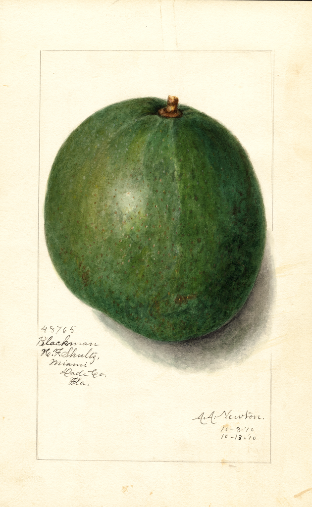 Avocados, Blackman (1910)