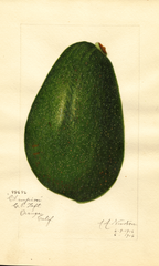 Avocados, Champion (1916)