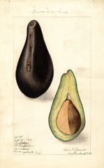 Avocados, Chappelow (1906)