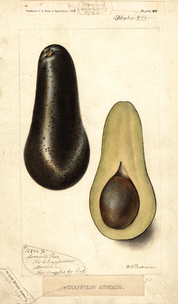 Avocados, Chappelow (1898)