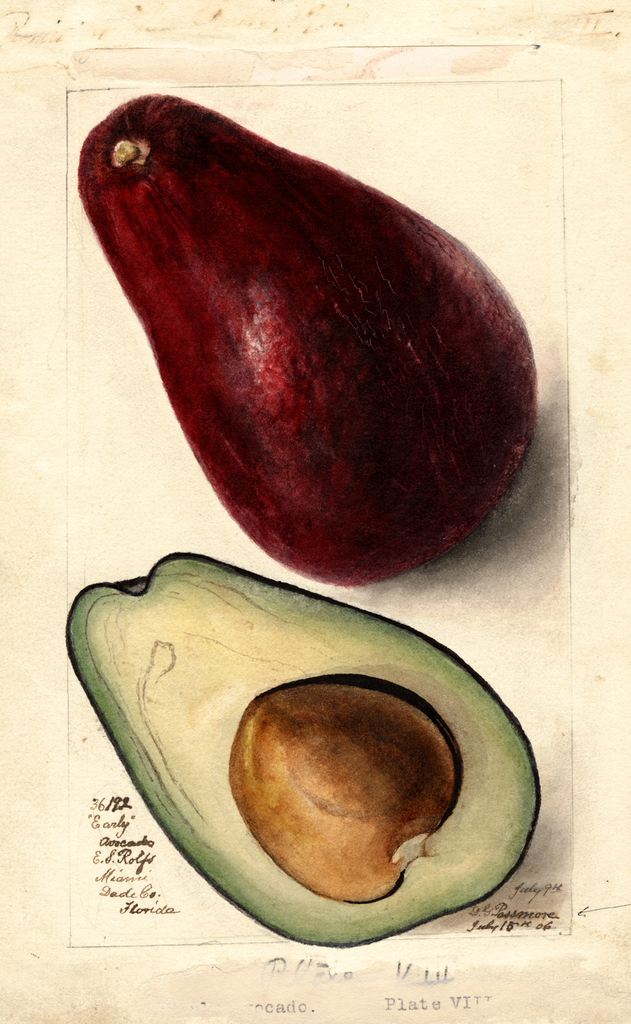 Avocados, Early (1906)