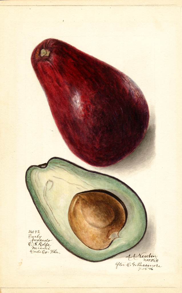 Avocados, Early (1911)