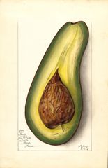 Avocados, Family (1912)