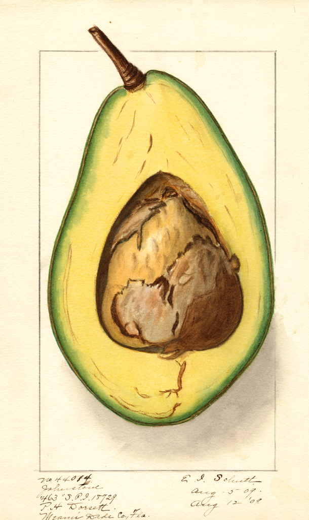 Avocados, Johnstone (1909)