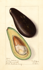 Avocados, Santa Barbara Early (1909)
