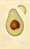 Avocados, Sharpless (1917)