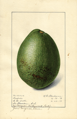 Avocados, Surprise (1917)