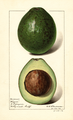 Avocados, Wagner (1916)