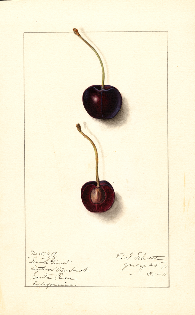 Cherries, South Giant (1911)