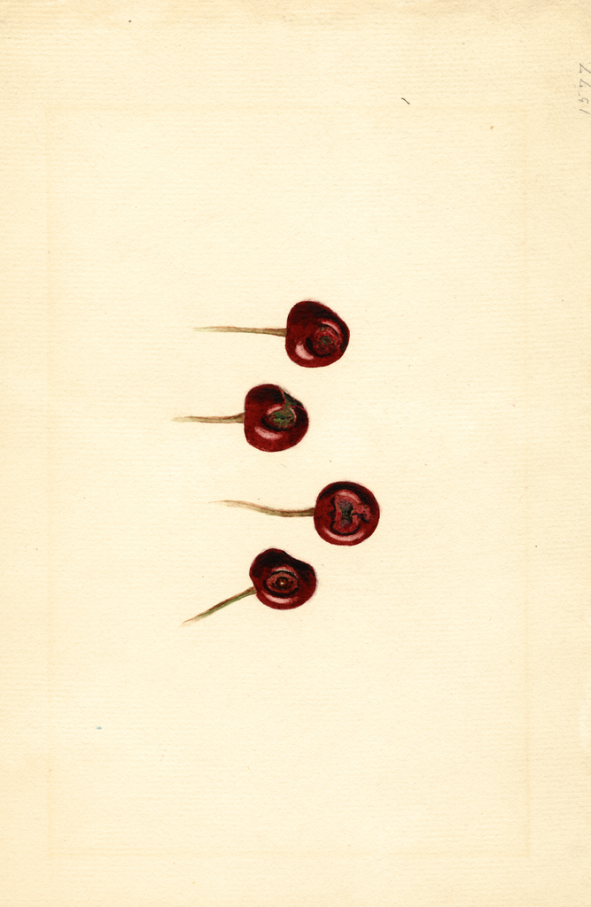 Cherries, English Morello (1931)