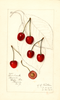 Cherries, Sparhawk (1915)
