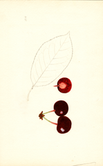 Cherries, St. Medard (1939)