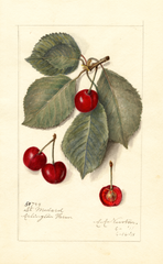 Cherries, St. Medard (1911)