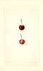 Cherries, St. Medard (1932)