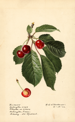 Cherries, St. Medard (1920)