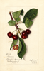 Cherries, Timme (1913)