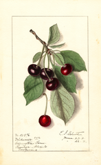 Cherries, Valdurur (1911)
