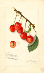 Cherries, Windsor (1910)