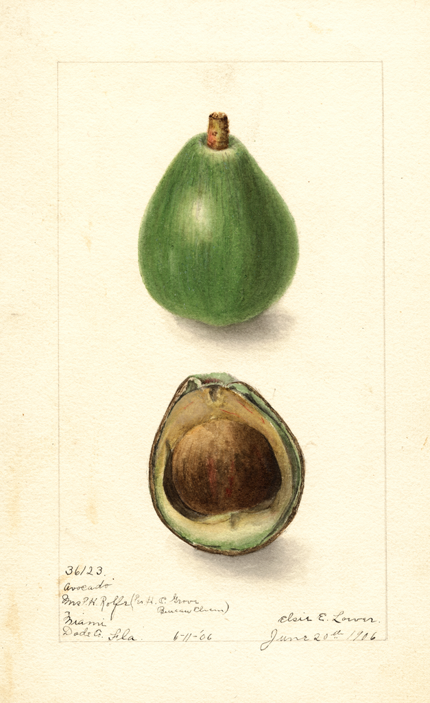 Avocados, Avocado Seedling (1906)