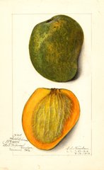 Mangoes, White Alphonse (1914)