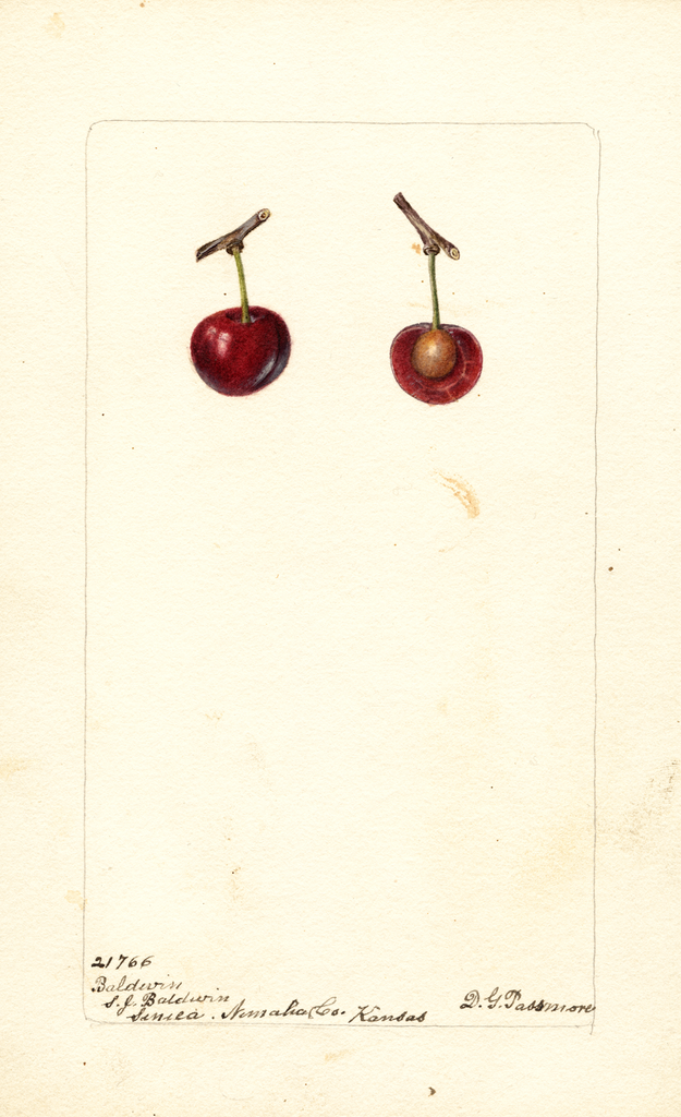Cherries, Baldwin (1901)