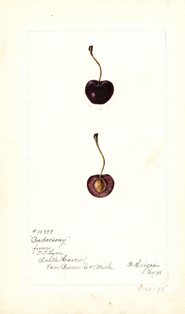 Cherries, Badacsony (1898)