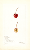 Cherries, Baltavari (1898)