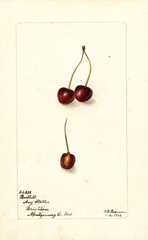 Cherries, Bartlett (1902)