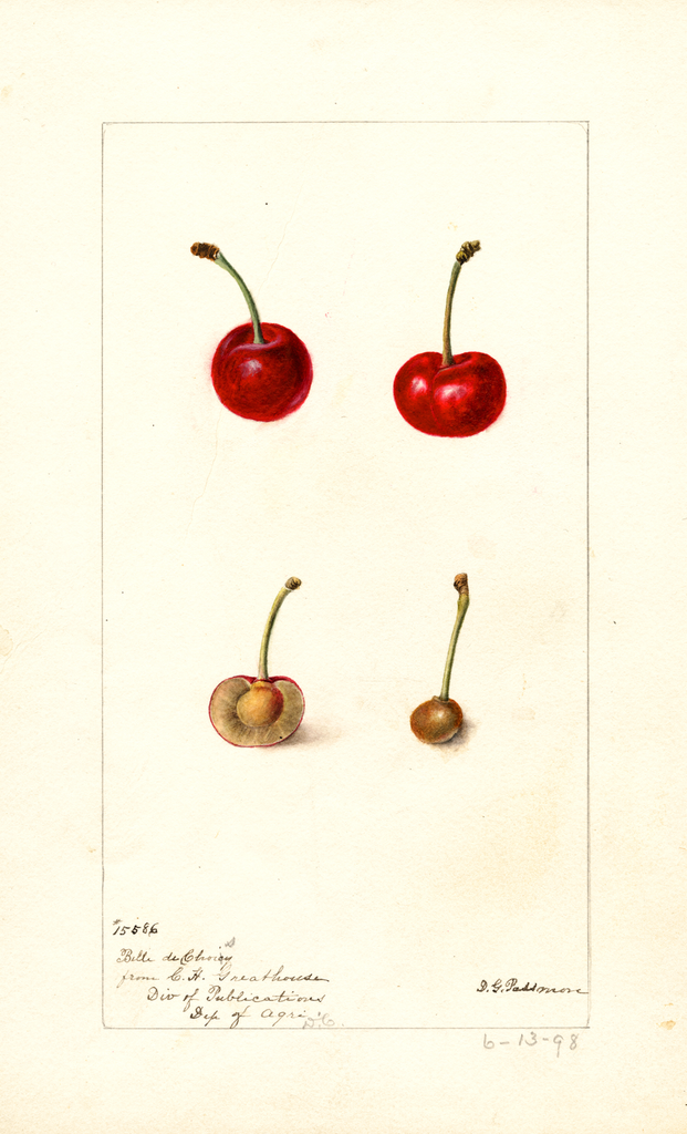 Cherries, Belle De Choisy (1898)