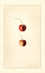 Cherries, Bing (1929)