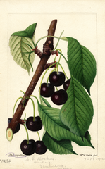 Cherries, Black Republican (1892)