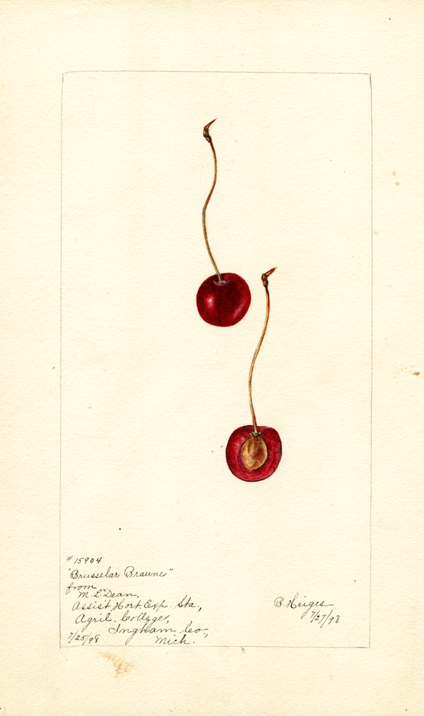 Cherries, Brusselar Braune (1898)