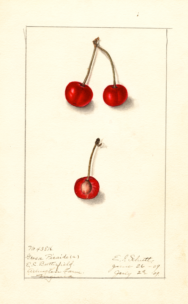 Cherries, Grosse Picarde (1909)
