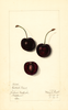 Cherries, Kallich Giant (1914)