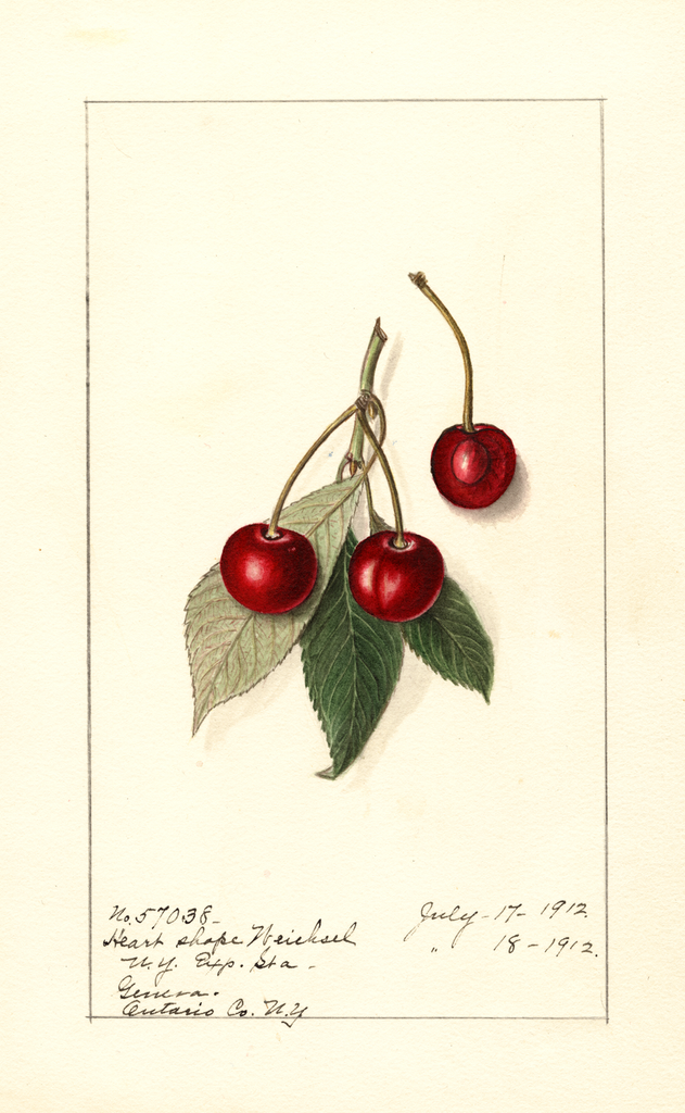 Cherries, Heart Shape Weichsel (1912)