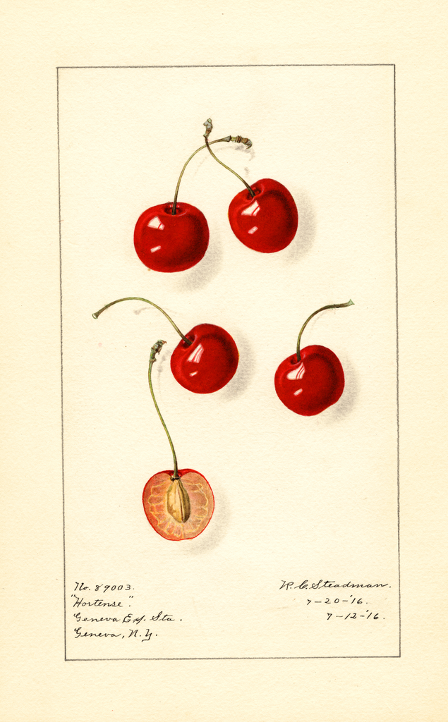 Cherries, Hortense (1916)