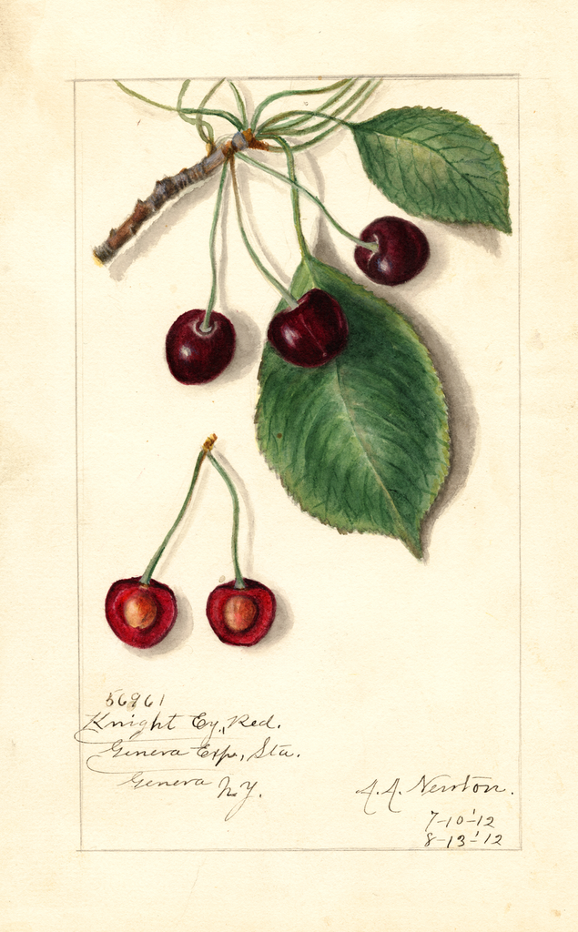 Cherries, Knight Early Red (1912)