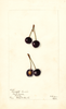 Cherries, Lamaurie (1903)