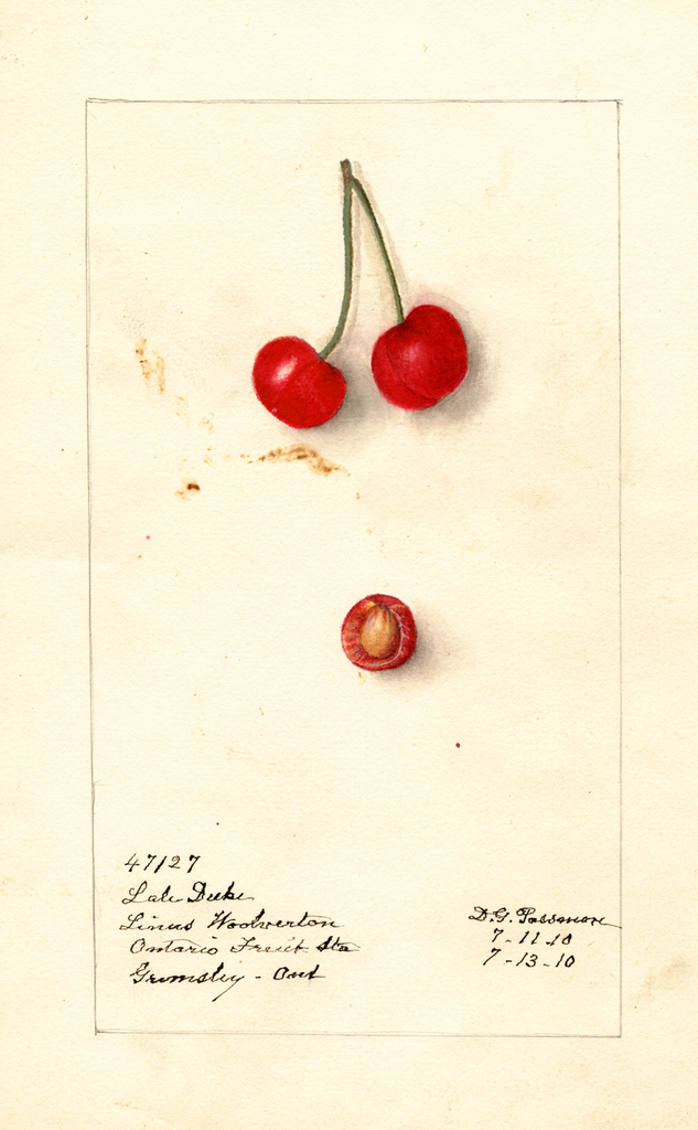 Cherries, Late Duke (1910)