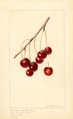 Cherries, Marasca Moscata (1933)