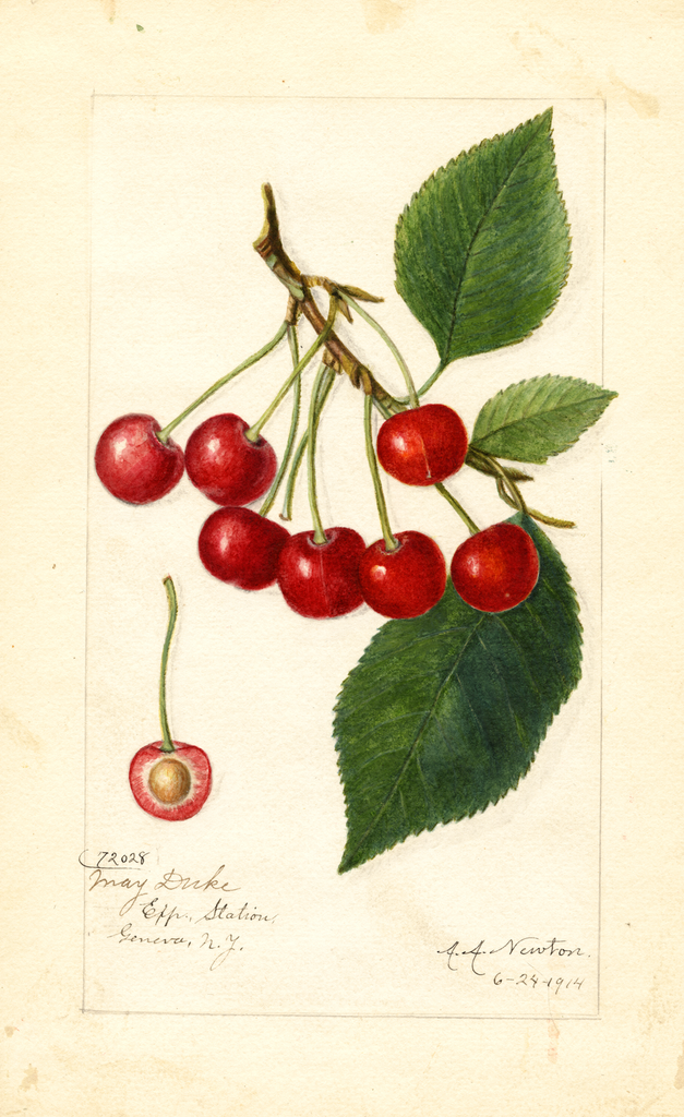 Cherries, May Duke (1914)