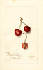 Cherries, Meador Seedling (1907)