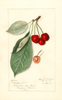 Cherries, Meeker (1911)