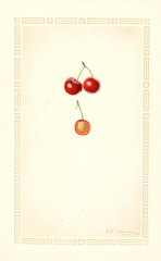 Cherries, Meyers (1928)