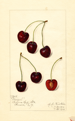 Cherries, Mezel (1916)