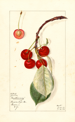 Cherries, Montmorency (1912)