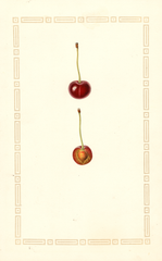 Cherries, Montmorency